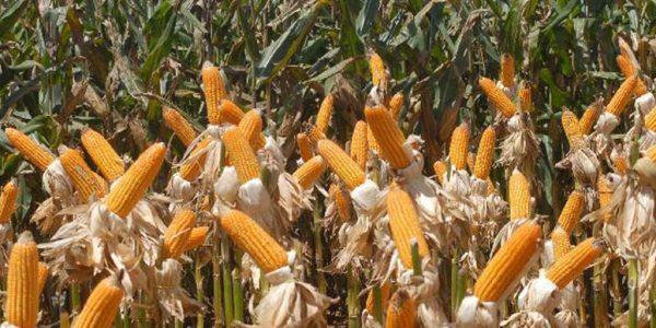200112-milho-granel-agronegocio[1]